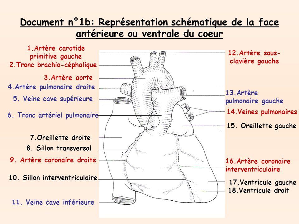 Document n°1b: Représentation schématique de la face antérieure ou ventrale du coeur