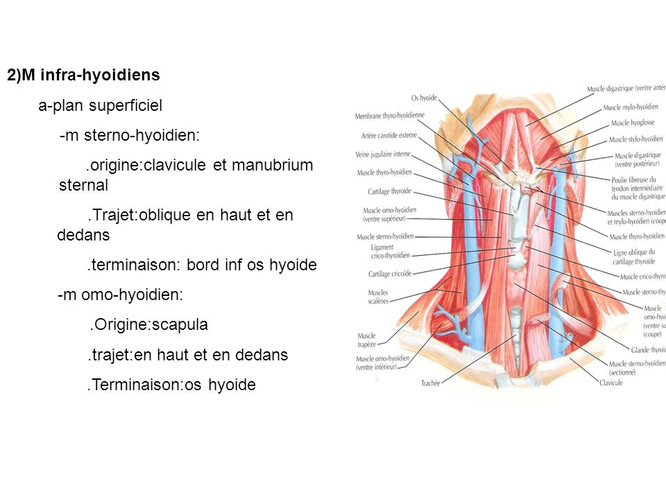 .origine:clavicule et manubrium sternal