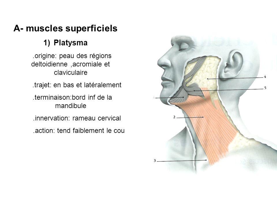 A- muscles superficiels
