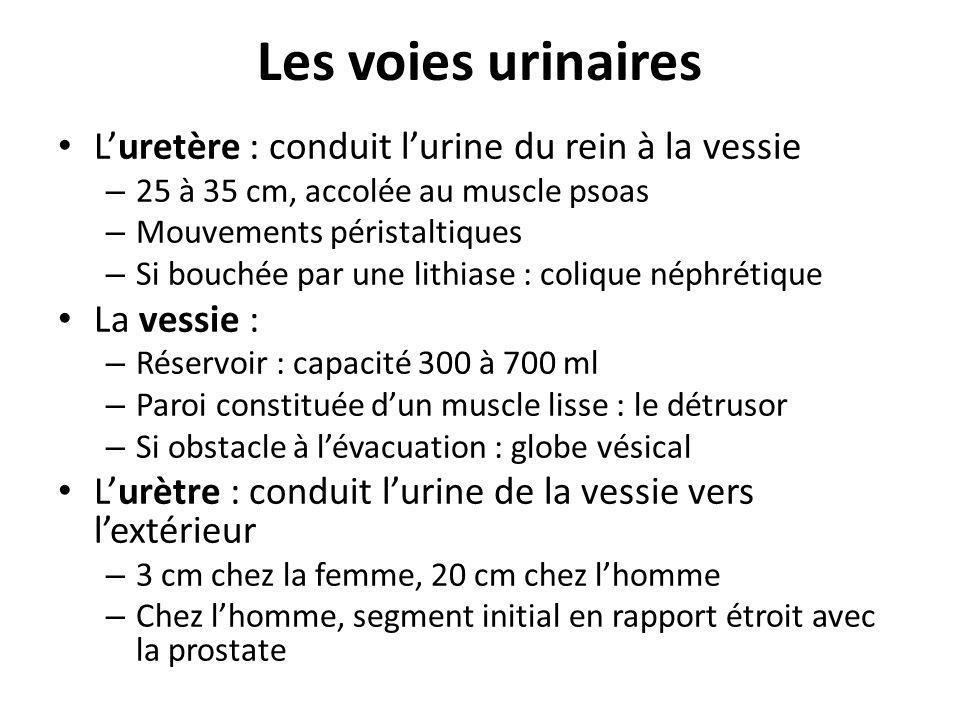 Les voies urinaires L'uretère : conduit l'urine du rein à la vessie