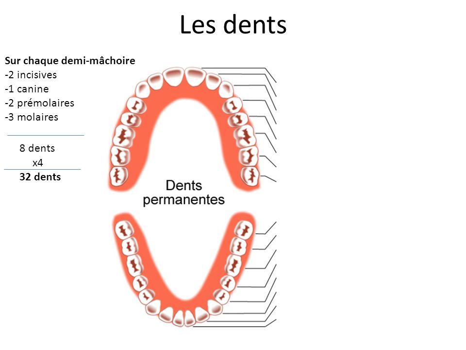Les dents Sur chaque demi-mâchoire 2 incisives 1 canine 2 prémolaires