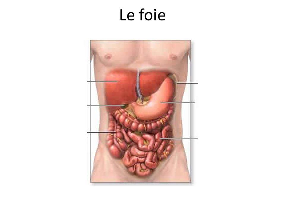 Le foie Foie Estomac Vésicule biliaire Colon Intestin grêle