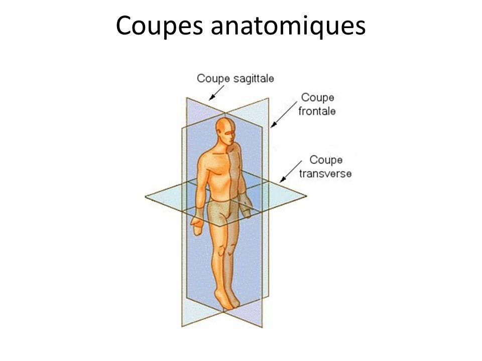 Coupes anatomiques