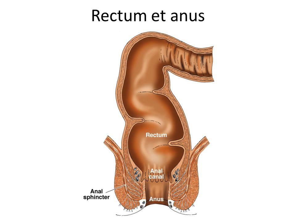 Rectum et anus