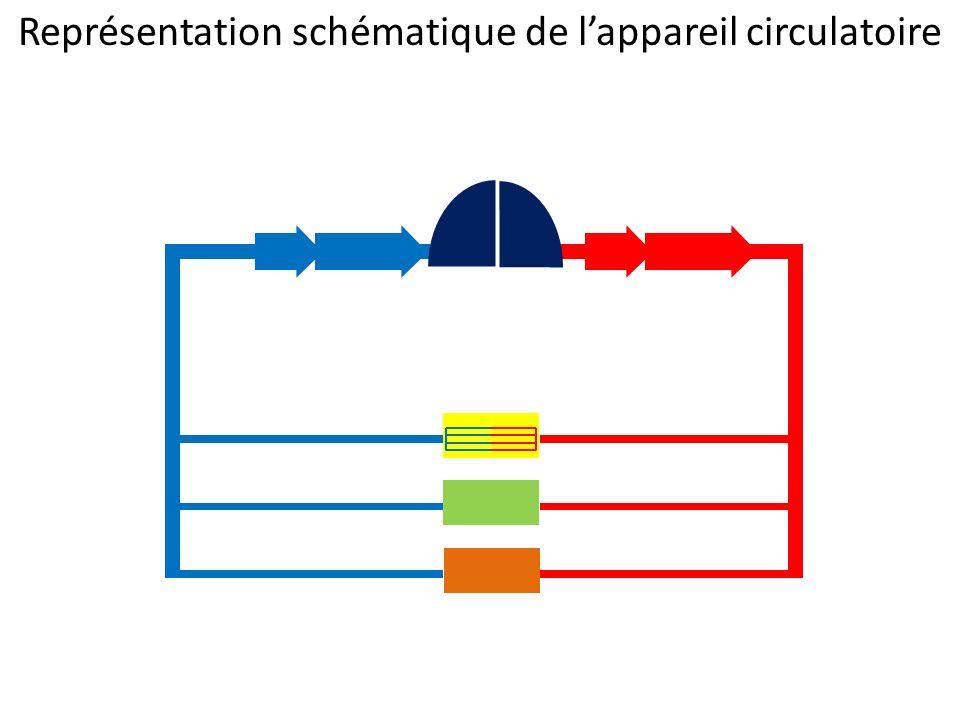 Représentation schématique de l'appareil circulatoire