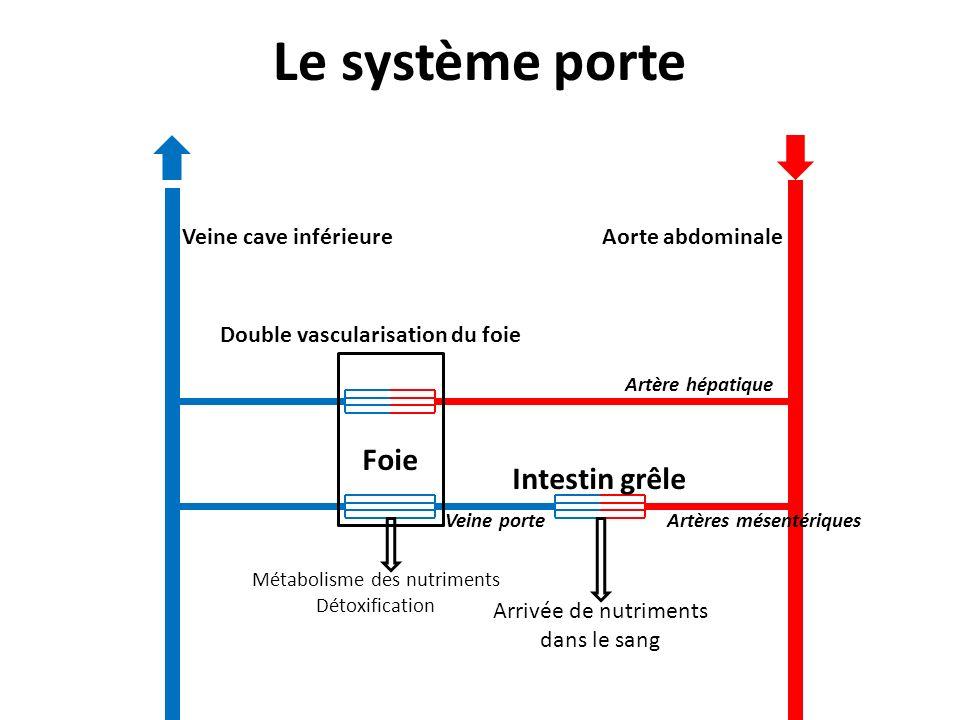 Le système porte Foie Intestin grêle Veine cave inférieure