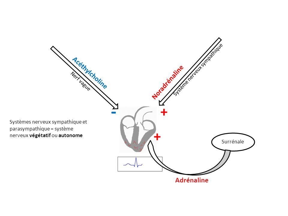 - + + Acéthylcholine Noradrénaline Adrénaline