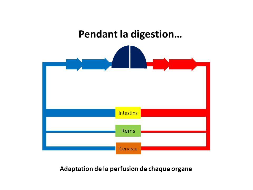 Pendant la digestion… Adaptation de la perfusion de chaque organe