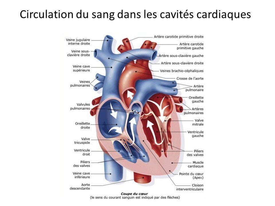 Circulation du sang dans les cavités cardiaques