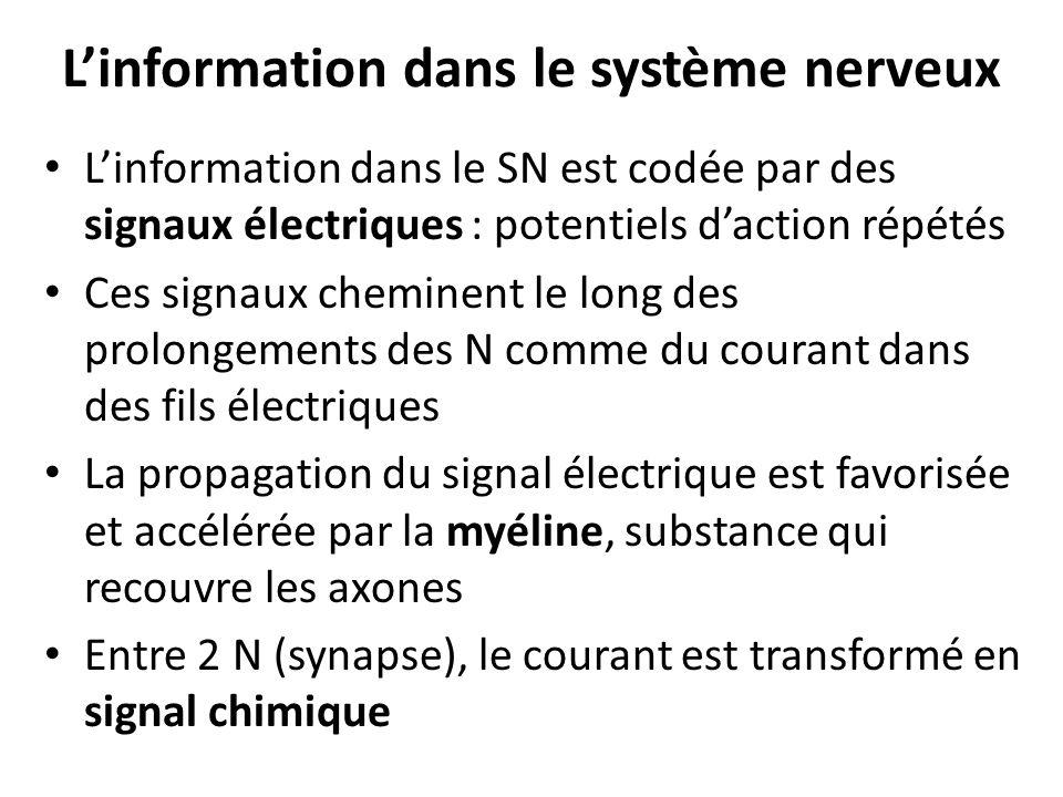 L'information dans le système nerveux