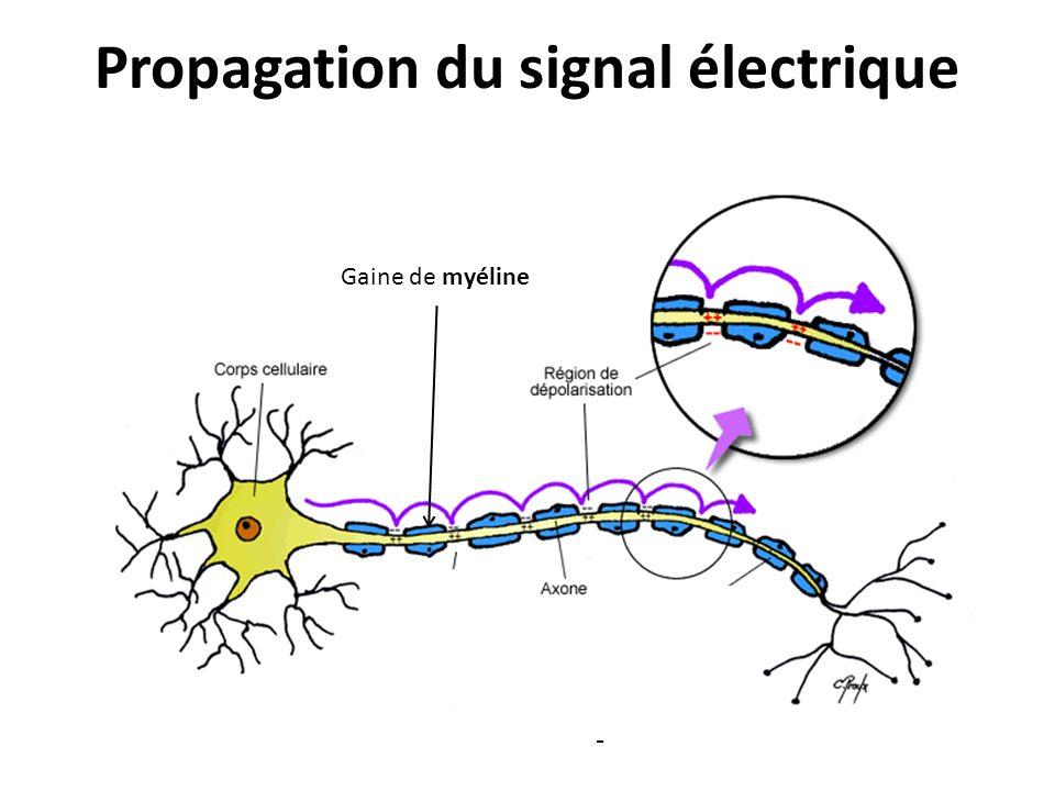 Propagation du signal électrique