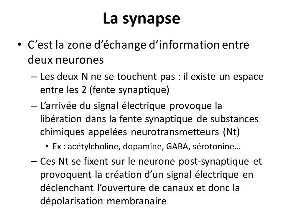 La synapse C'est la zone d'échange d'information entre deux neurones