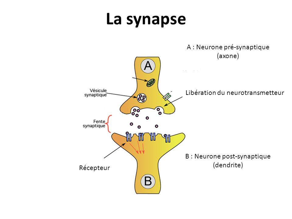 La synapse A : Neurone pré-synaptique (axone)