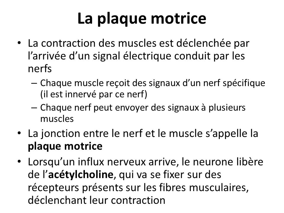 La plaque motrice La contraction des muscles est déclenchée par l'arrivée d'un signal électrique conduit par les nerfs.