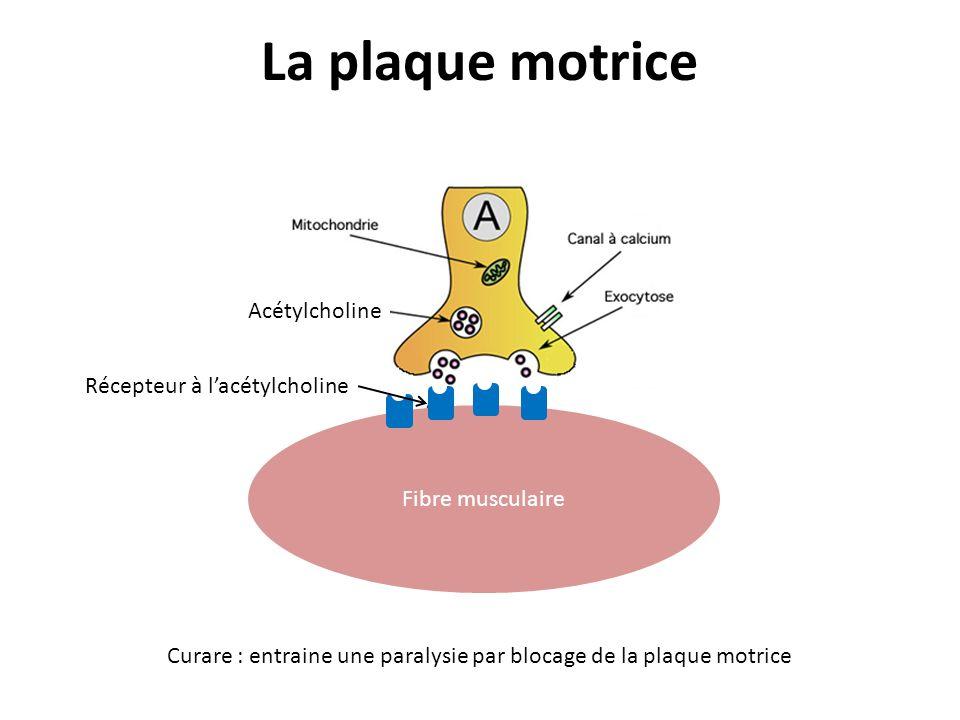 La plaque motrice Acétylcholine Récepteur à l'acétylcholine