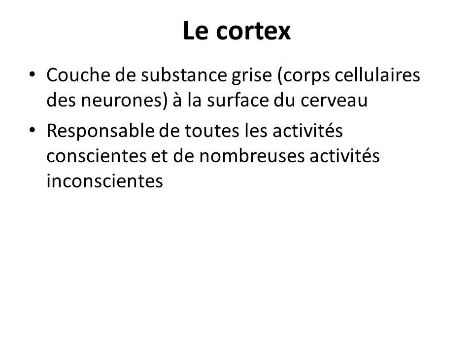 Le cortex Couche de substance grise (corps cellulaires des neurones) à la surface du cerveau.