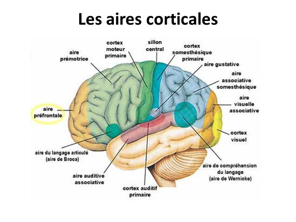 Les aires corticales