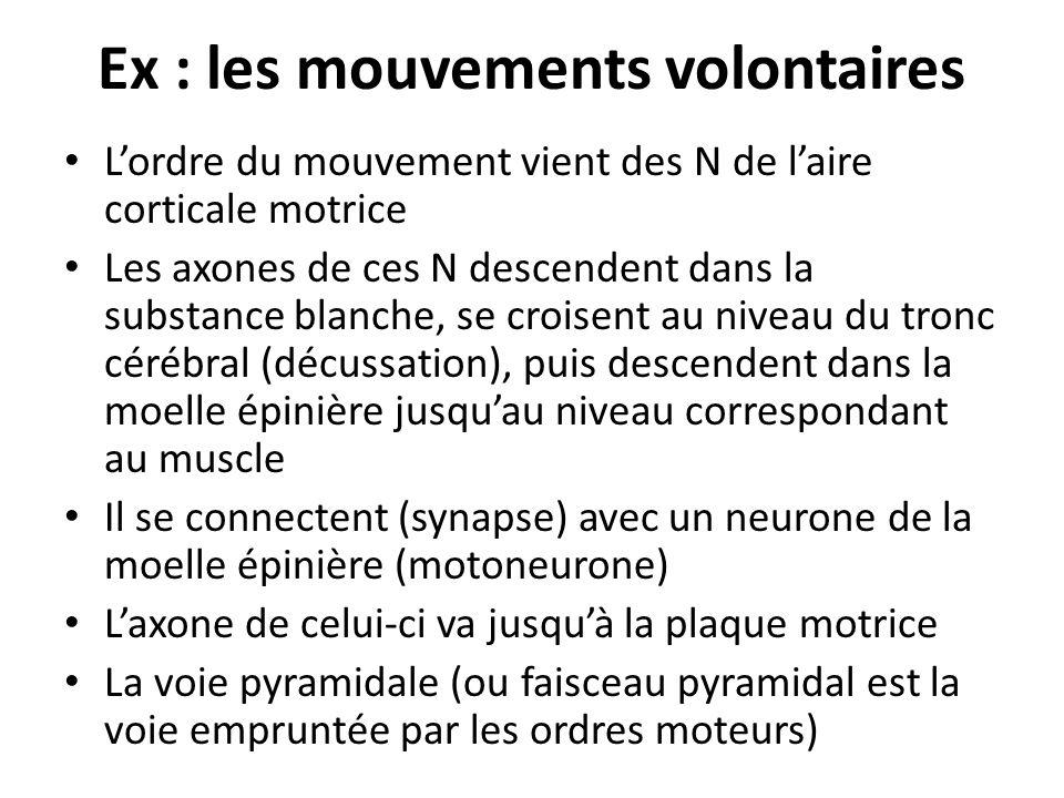 Ex : les mouvements volontaires