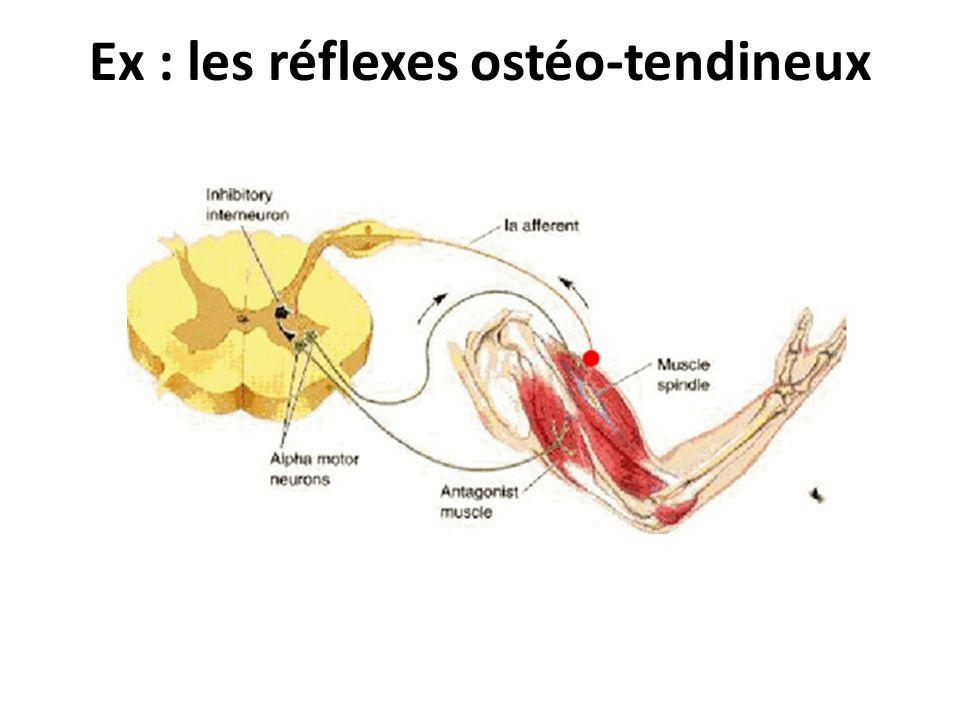 Ex : les réflexes ostéo-tendineux
