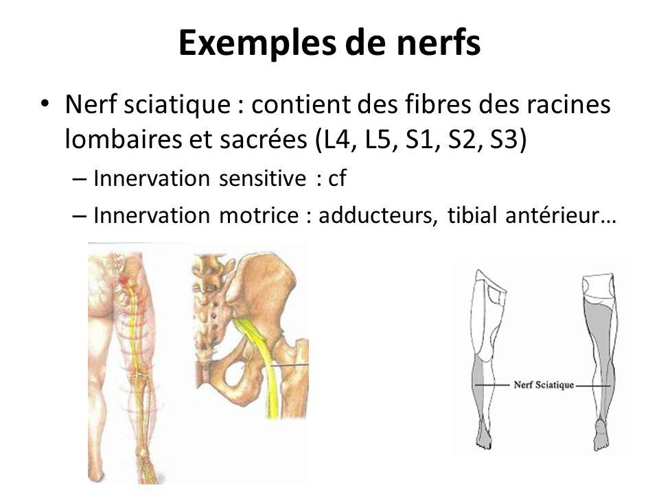 Exemples de nerfs Nerf sciatique : contient des fibres des racines lombaires et sacrées (L4, L5, S1, S2, S3)