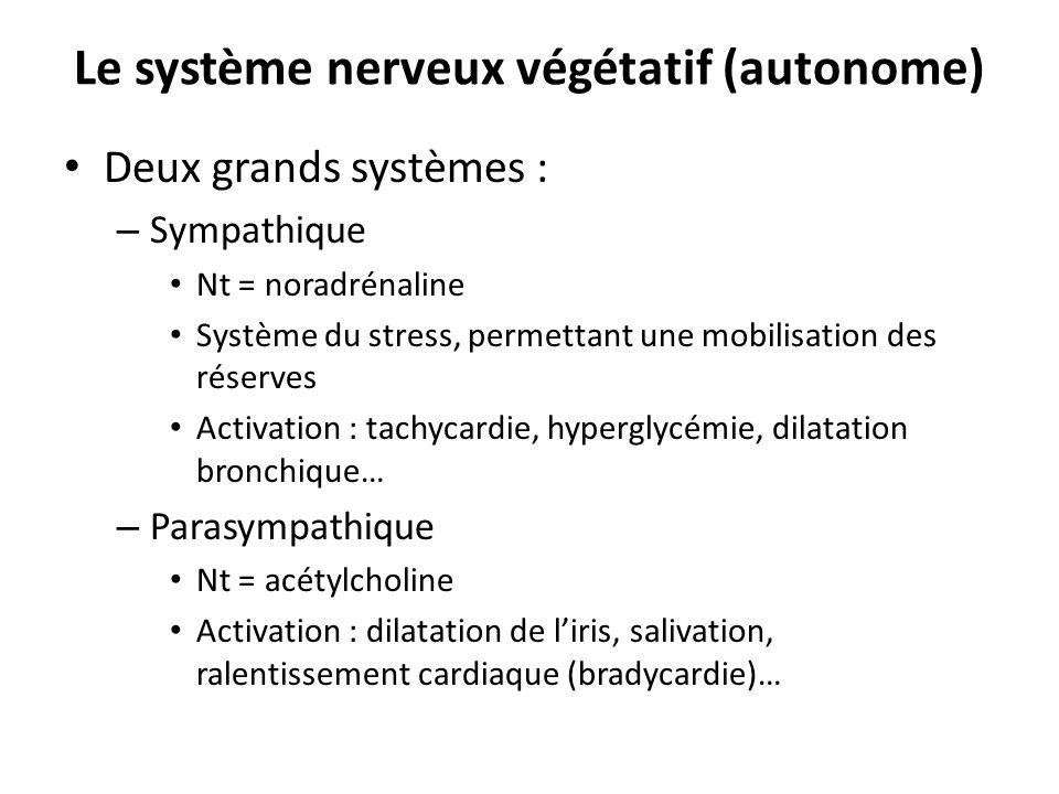 Le système nerveux végétatif (autonome)