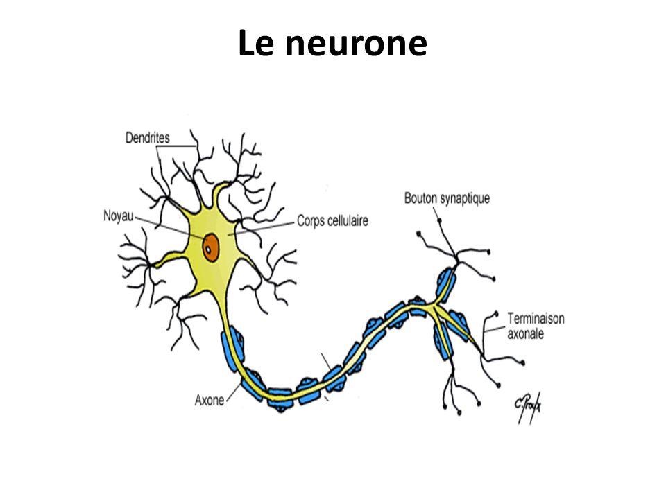 Le neurone