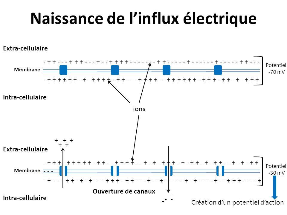 Naissance de l'influx électrique