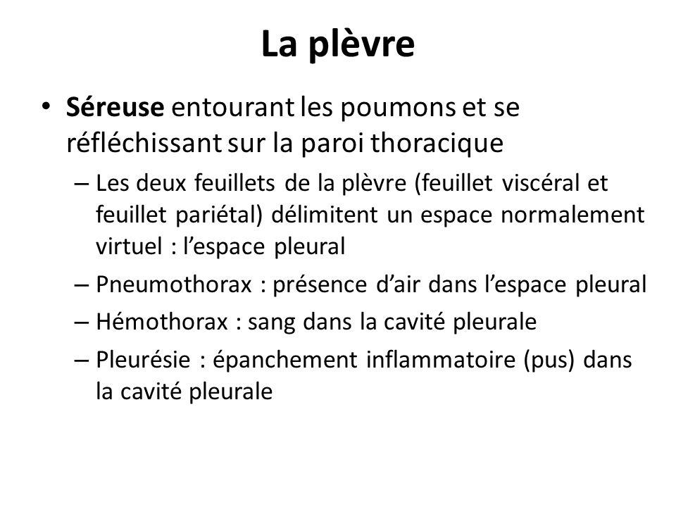 La plèvre Séreuse entourant les poumons et se réfléchissant sur la paroi thoracique.