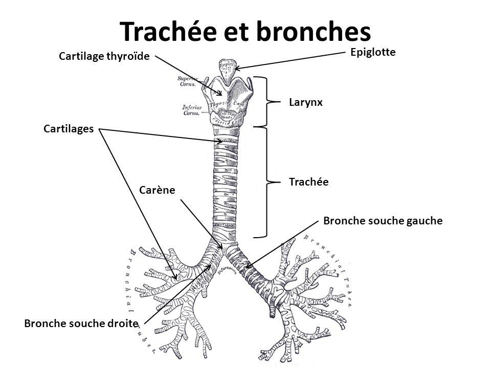 Trachée et bronches Epiglotte Cartilage thyroïde Larynx Cartilages