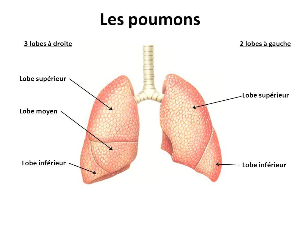Les poumons 3 lobes à droite 2 lobes à gauche Lobe supérieur