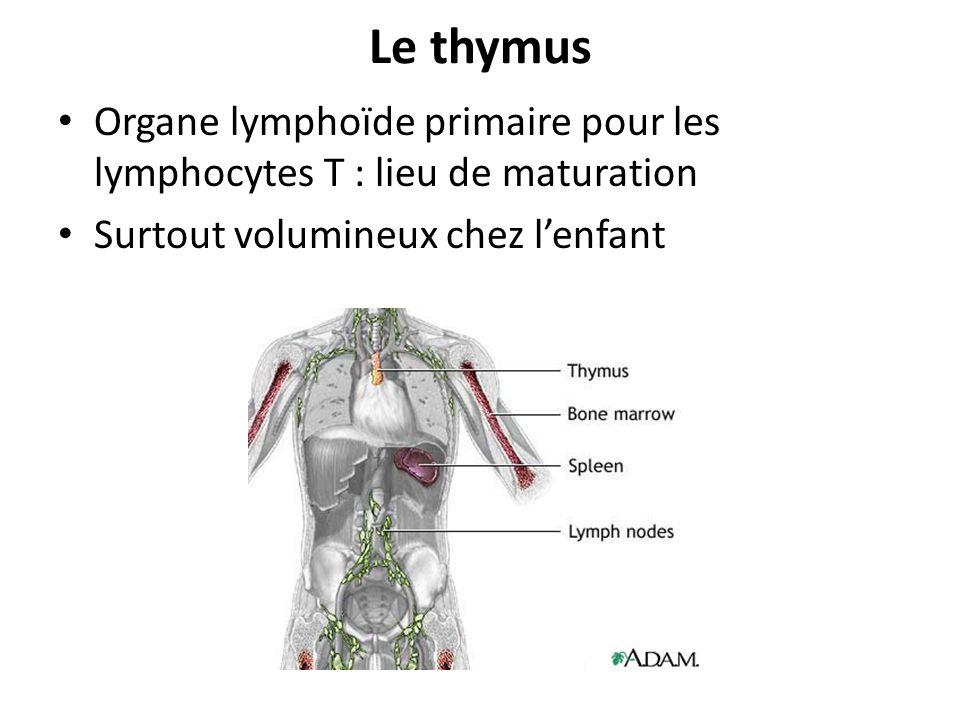 Le thymusOrgane lymphoïde primaire pour les lymphocytes T : lieu de maturation.