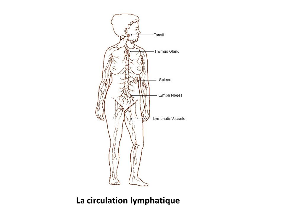 La circulation lymphatique