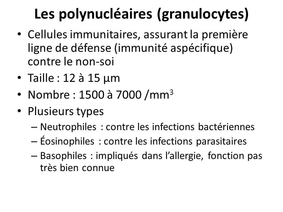 Les polynucléaires (granulocytes)