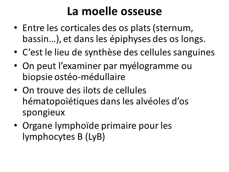 La moelle osseuse Entre les corticales des os plats (sternum, bassin…), et dans les épiphyses des os longs.