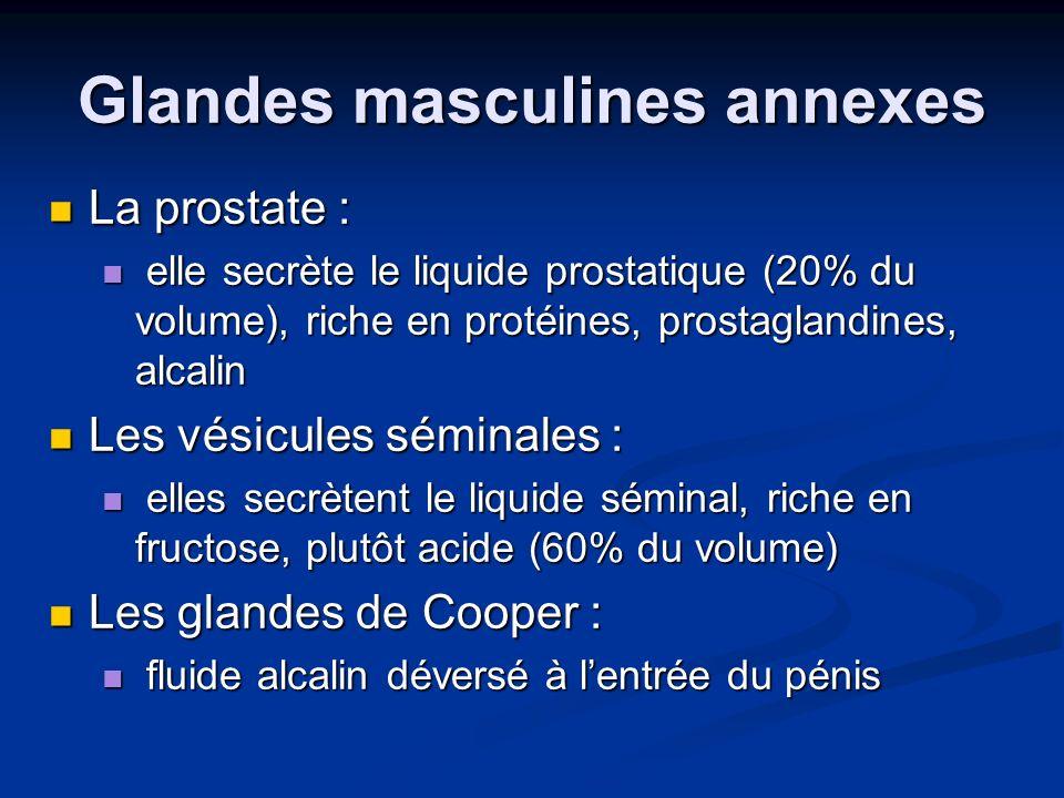 Glandes masculines annexes