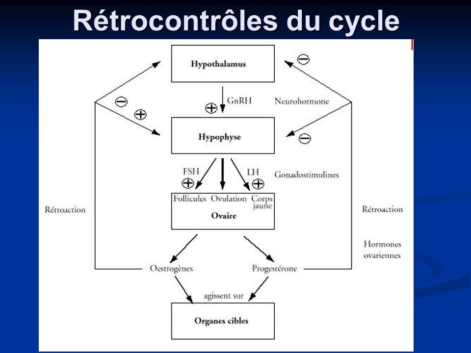 Rétrocontrôles du cycle