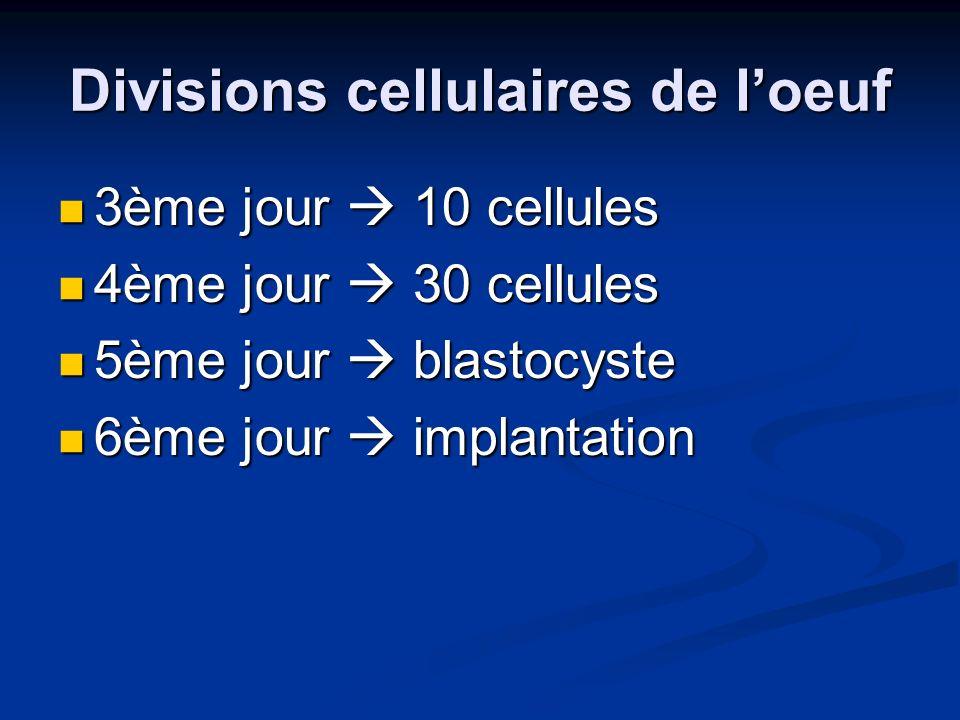 Divisions cellulaires de l'oeuf