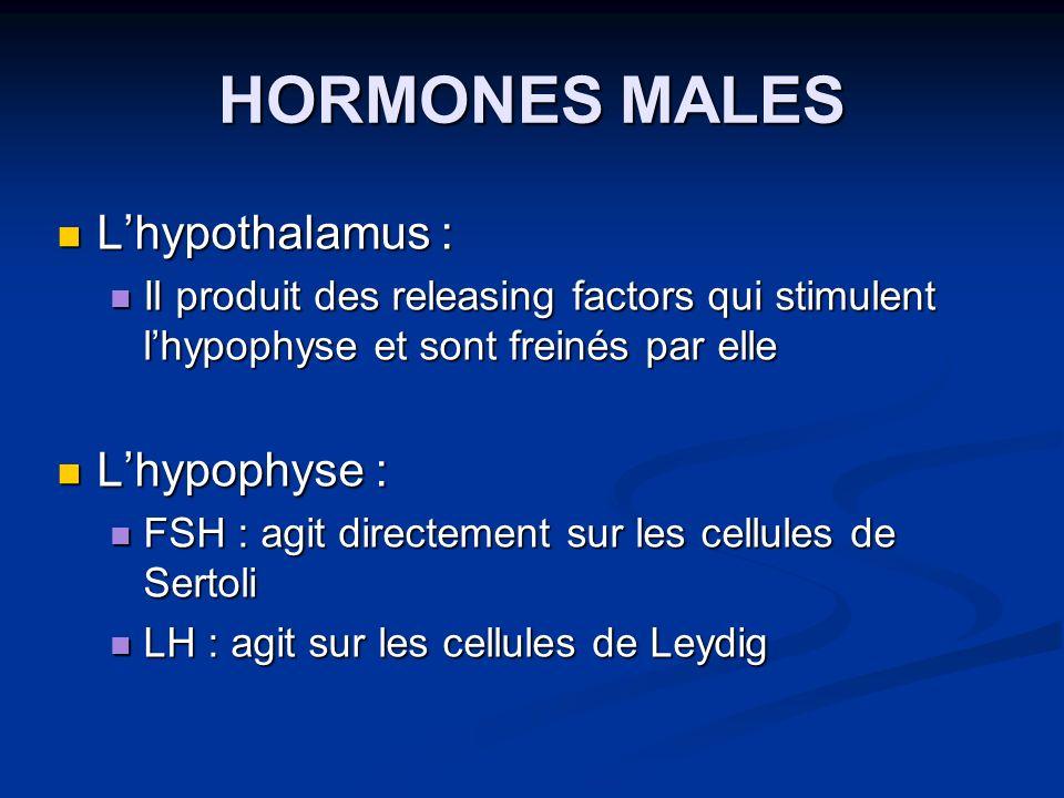 HORMONES MALES L'hypothalamus : L'hypophyse :