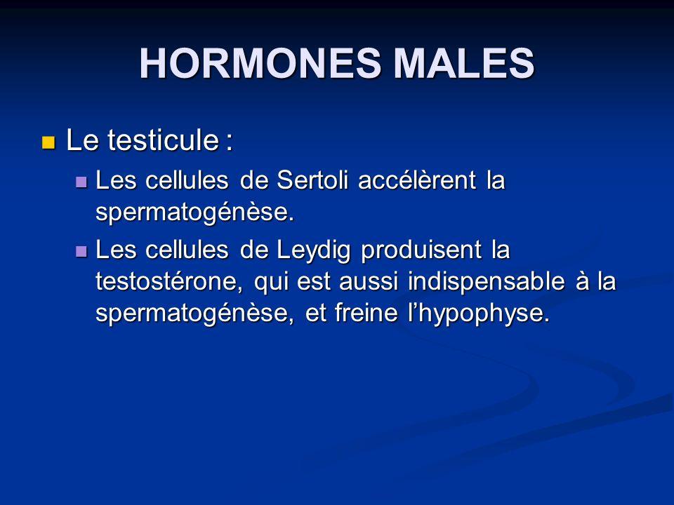 HORMONES MALES Le testicule :