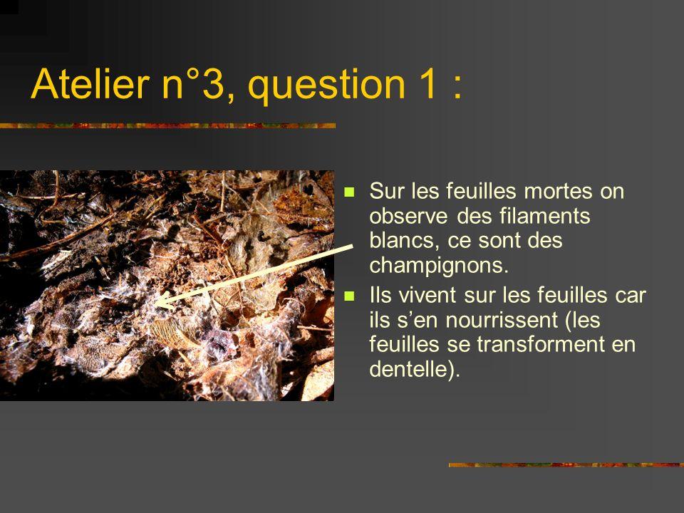 Atelier n°3, question 1 : Sur les feuilles mortes on observe des filaments blancs, ce sont des champignons.