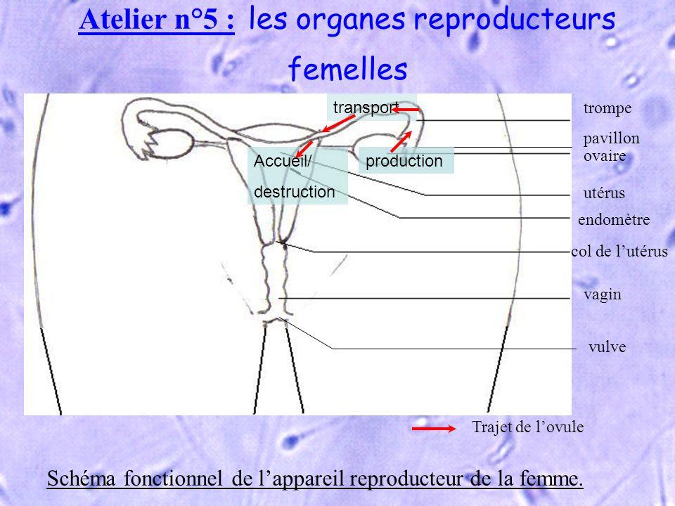 Atelier n°5 : les organes reproducteurs femelles