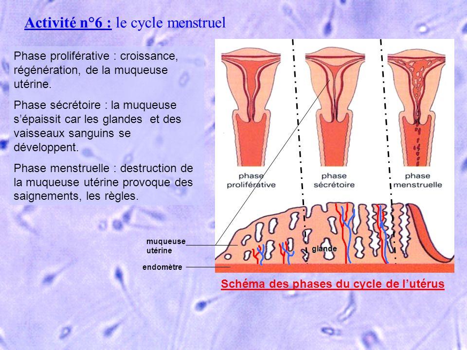 Schéma des phases du cycle de l'utérus