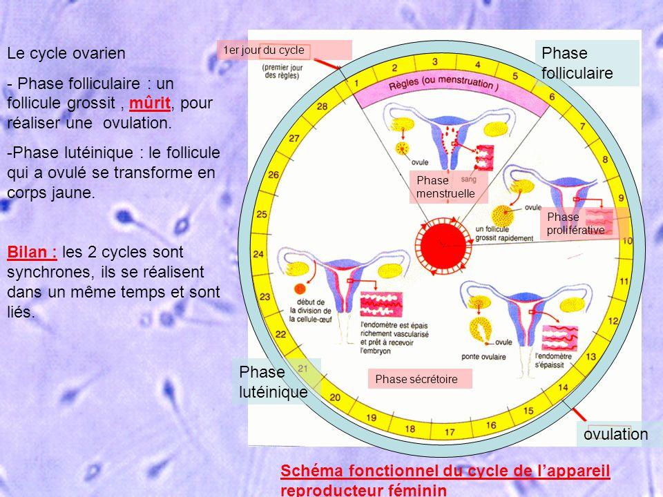 Schéma fonctionnel du cycle de l'appareil reproducteur féminin