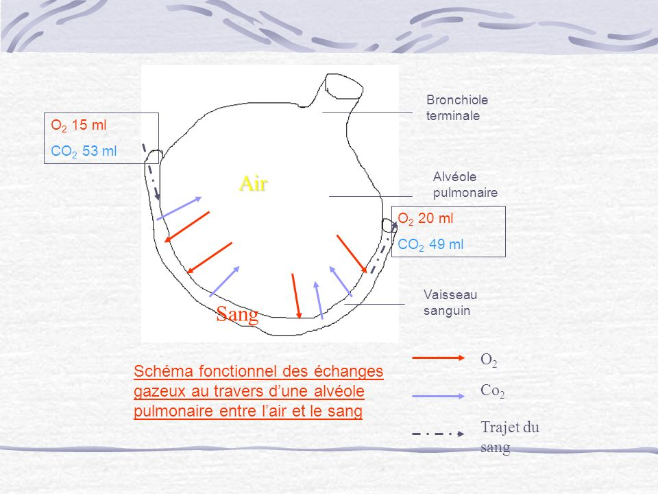 Bronchiole terminale O2 15 ml. CO2 53 ml. Air. Alvéole pulmonaire. O2 20 ml. CO2 49 ml. Vaisseau sanguin.