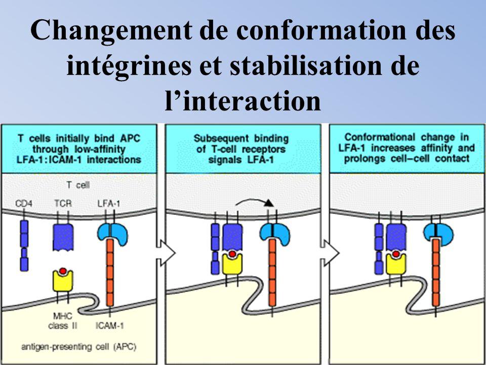 Changement de conformation des intégrines et stabilisation de l'interaction