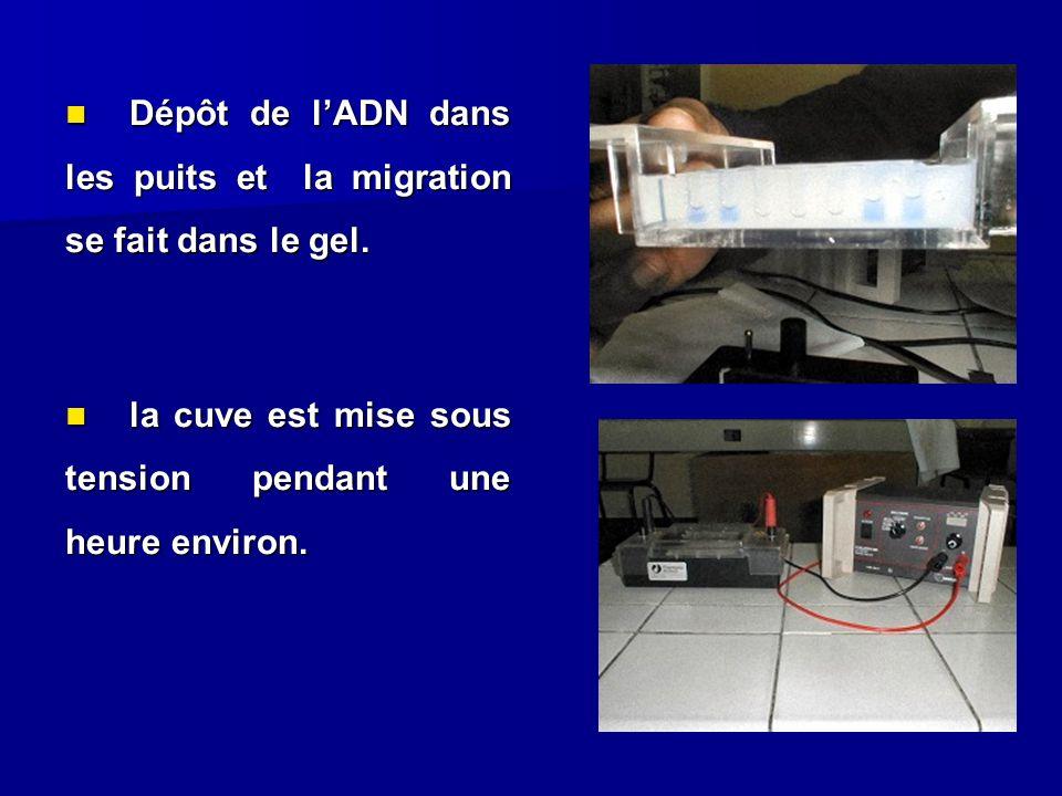 Dépôt de l'ADN dans les puits et la migration se fait dans le gel.