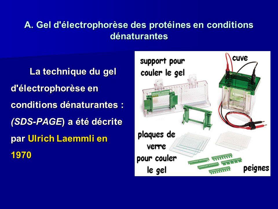 A. Gel d électrophorèse des protéines en conditions dénaturantes