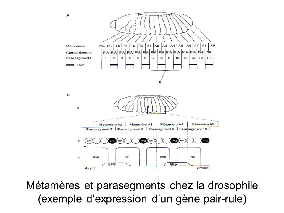Métamères et parasegments chez la drosophile (exemple d'expression d'un gène pair-rule)