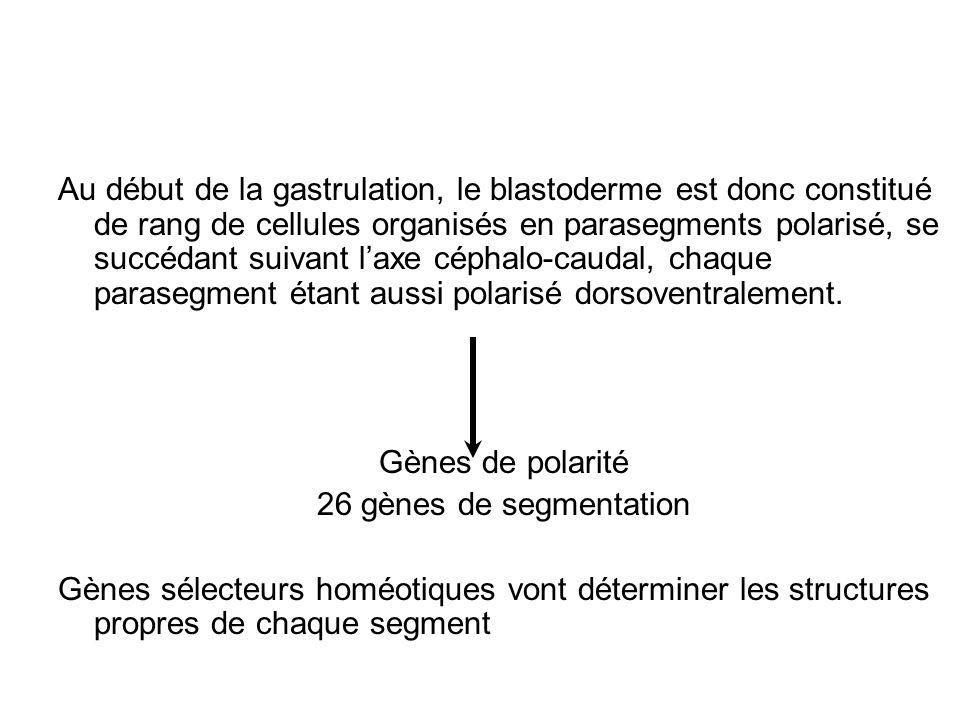 Au début de la gastrulation, le blastoderme est donc constitué de rang de cellules organisés en parasegments polarisé, se succédant suivant l'axe céphalo-caudal, chaque parasegment étant aussi polarisé dorsoventralement.