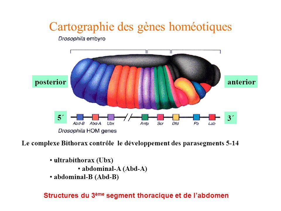 Cartographie des gènes homéotiques